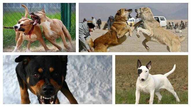 бойцовские собаки