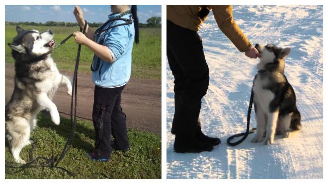 дрессировка аляскинских маламутов