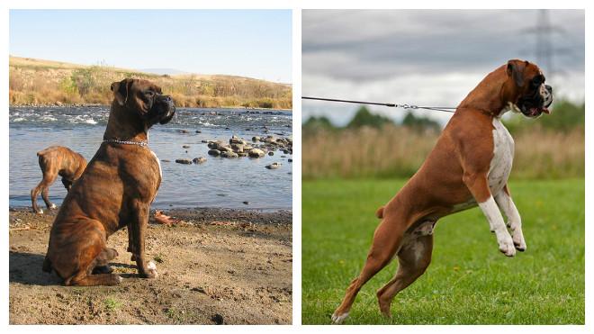 Собака немецкий боксер