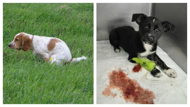 Диарея с кровью у собак