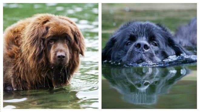 порода собак водолаз