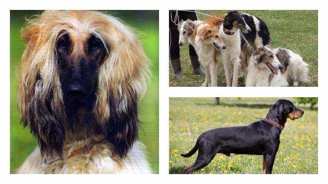 характер гончих собак