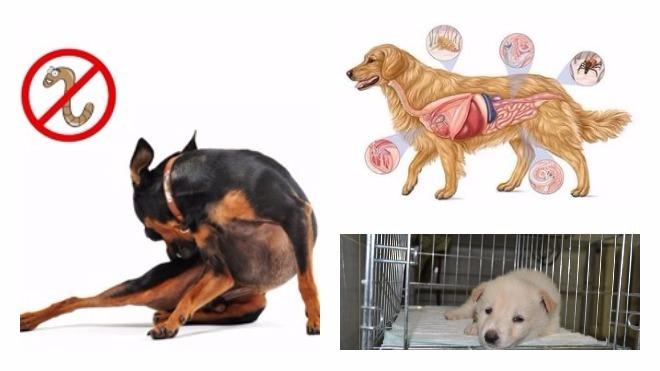 Глистные инвазии у собак