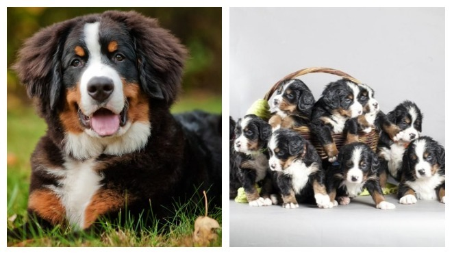 характре собаки бернский зенненхунд