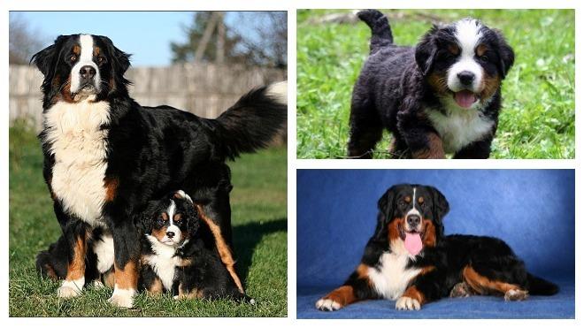 порода собак бернский зенненхунд
