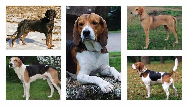 применения гончих собак