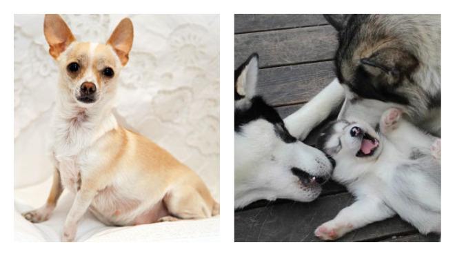 Календарь беременности у собак