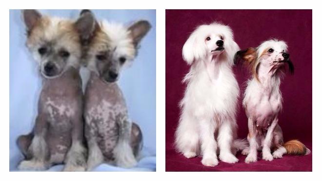 здоровье китайской хохлатой собаки