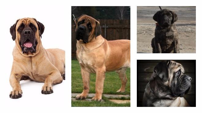 Чем отличается английский мастиф от других пород собак