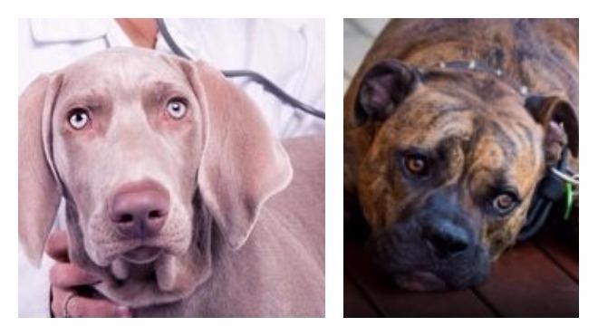Печеночные гельминты у собаки