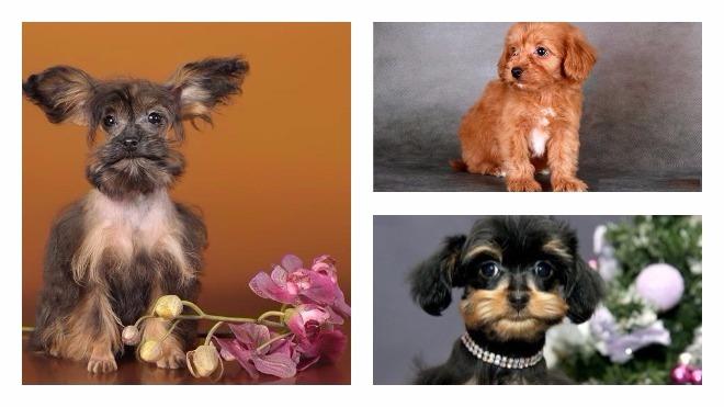 Порода собак петербургская орхидея
