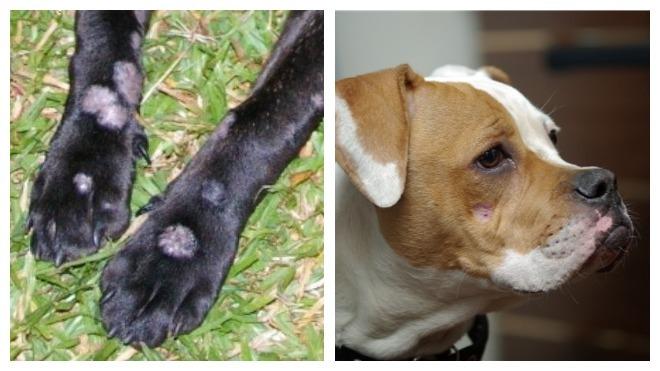 симптомы стригущего лишая у собак