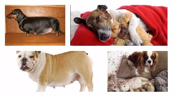 ложная беременности у собак