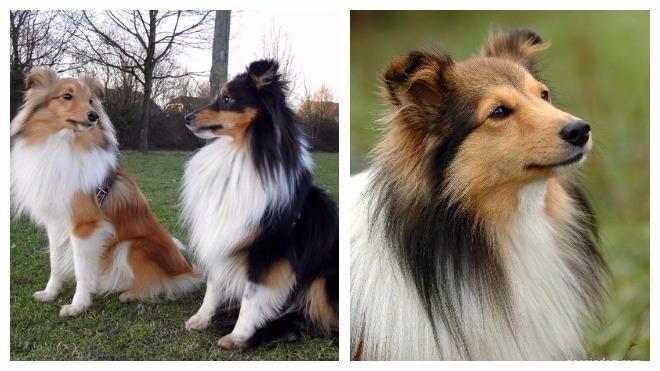 Внешний вид собаки шелти