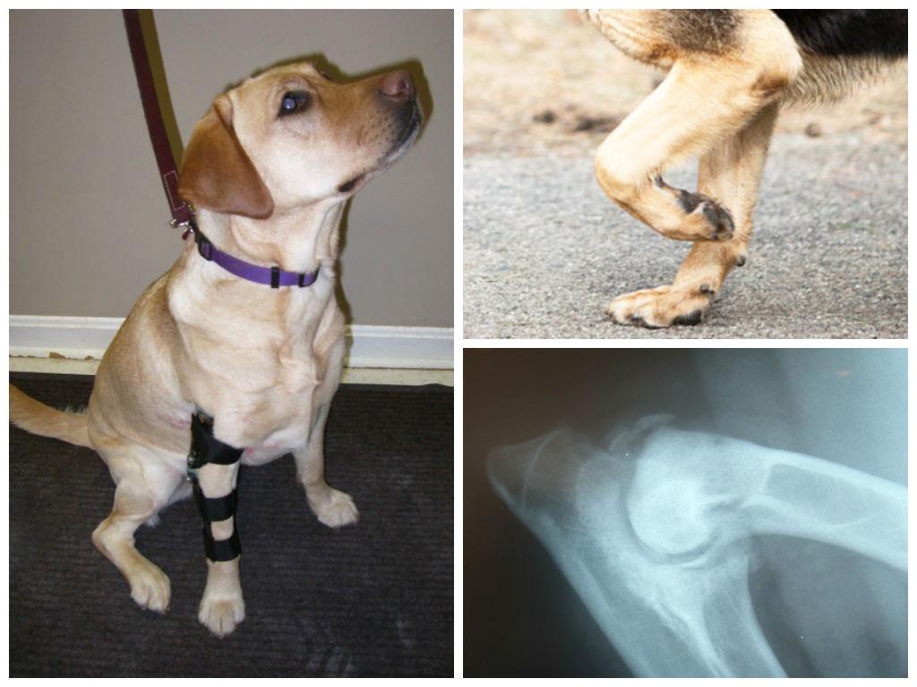 Симптомы дисплазии у собак