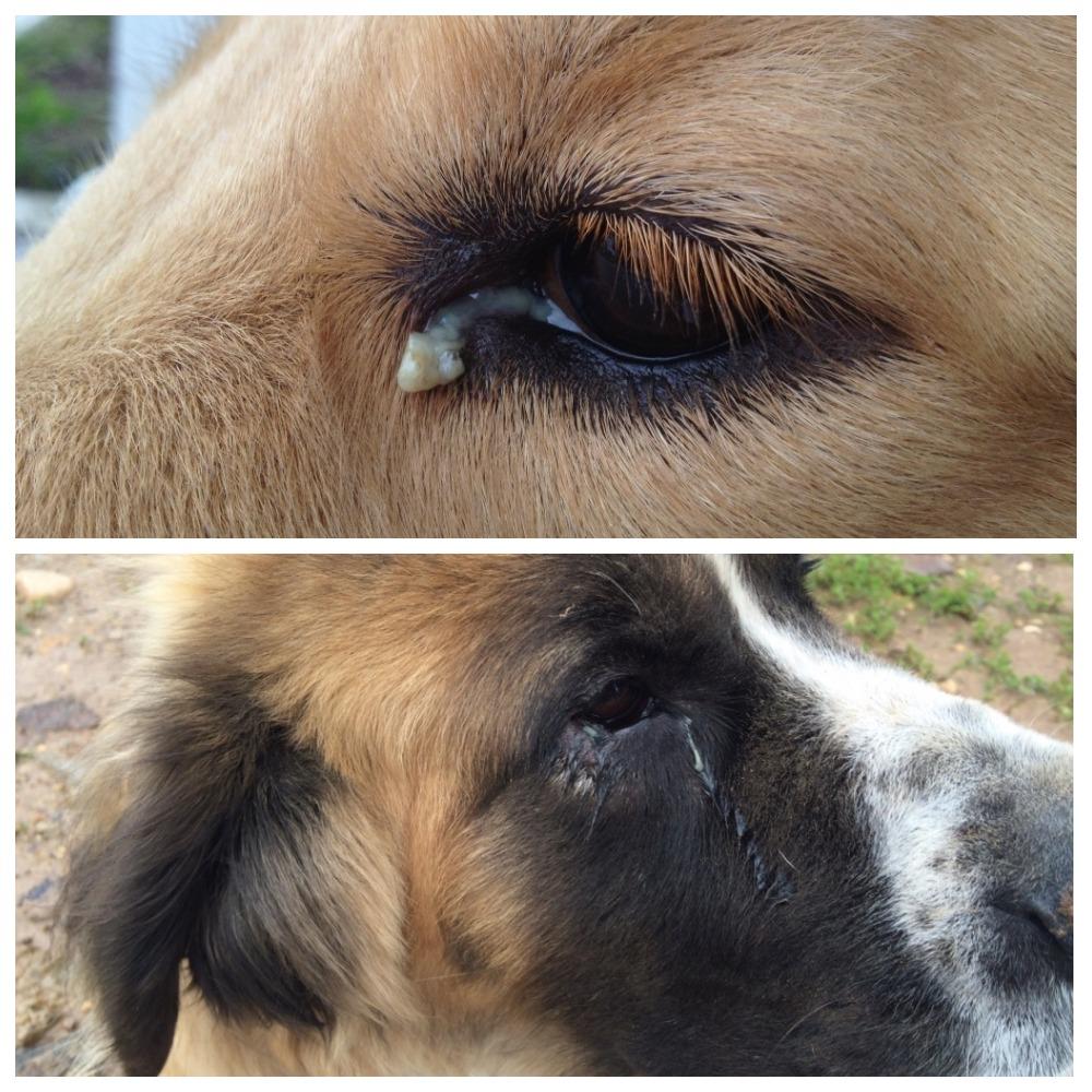 Собака Похудел Глаза Гноятся. Старый пёс стал хромать, похудел, дрожит, глаза гноятся