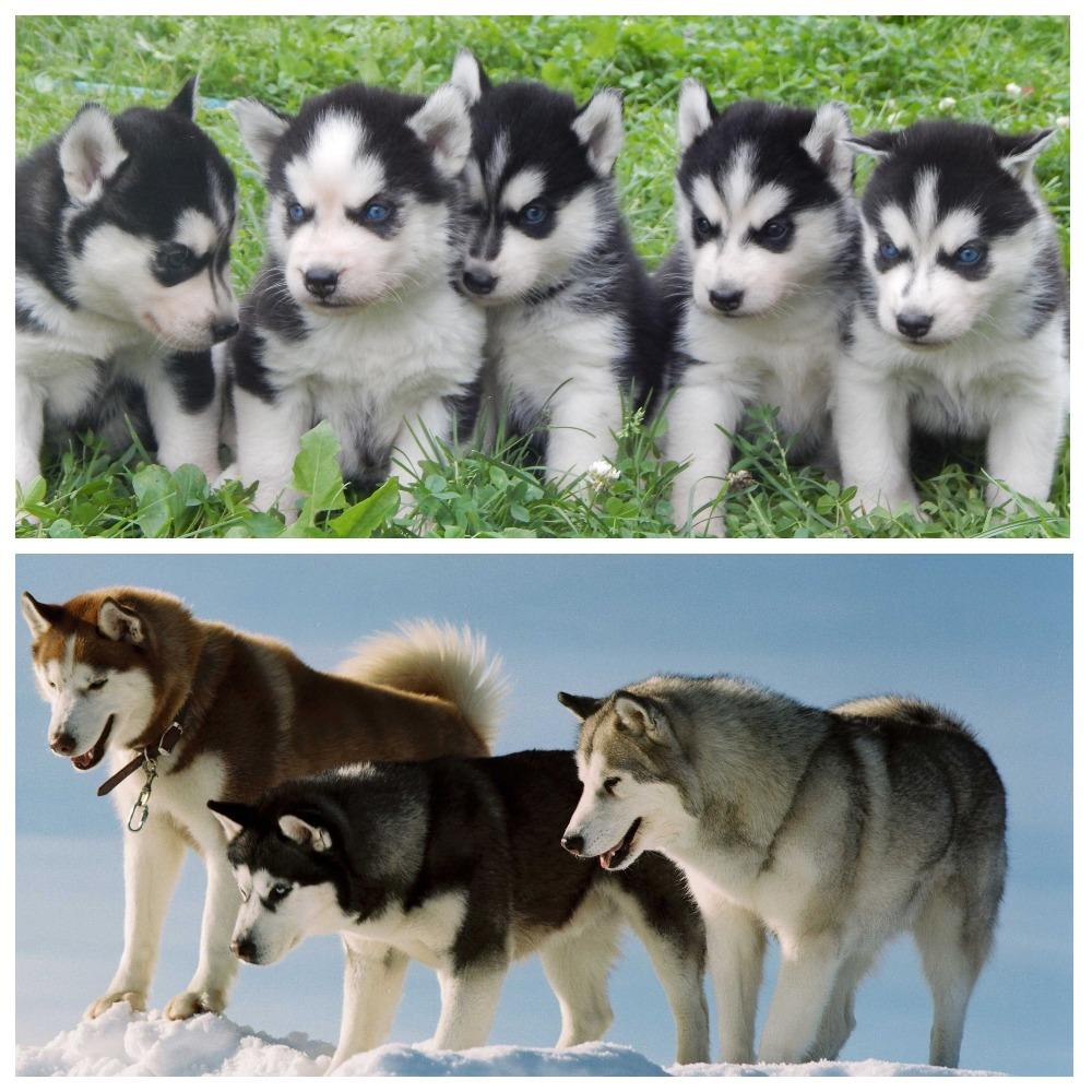 Клички для собаки лайки