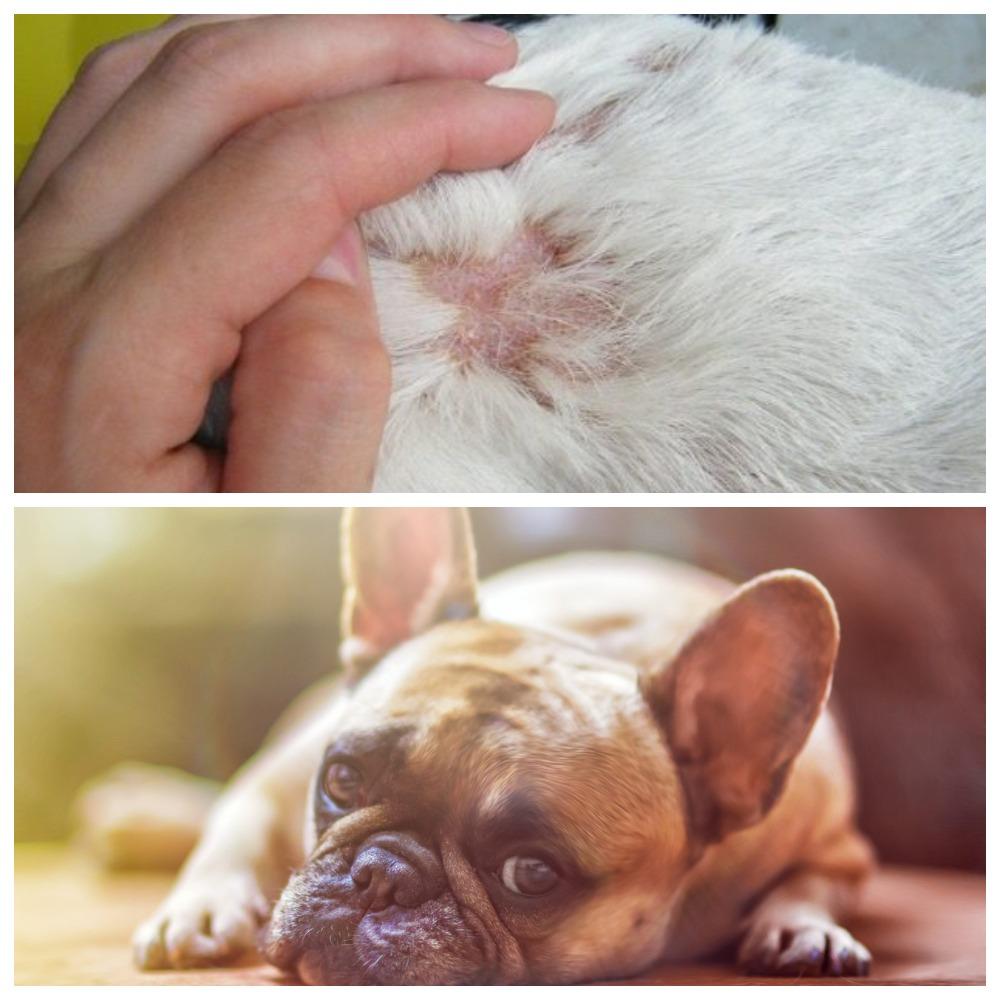 Подкожный клещ у собак - опасность заболевания и лечение