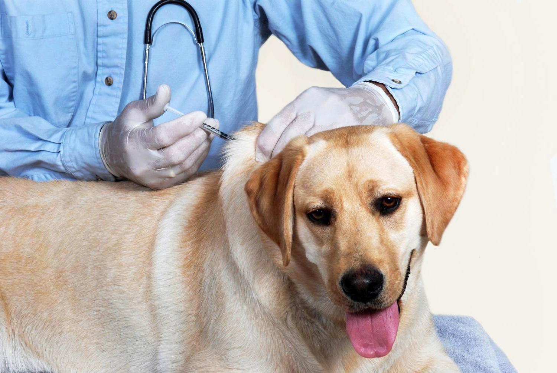 Цистит у собак - симптомы, проявление, лечение