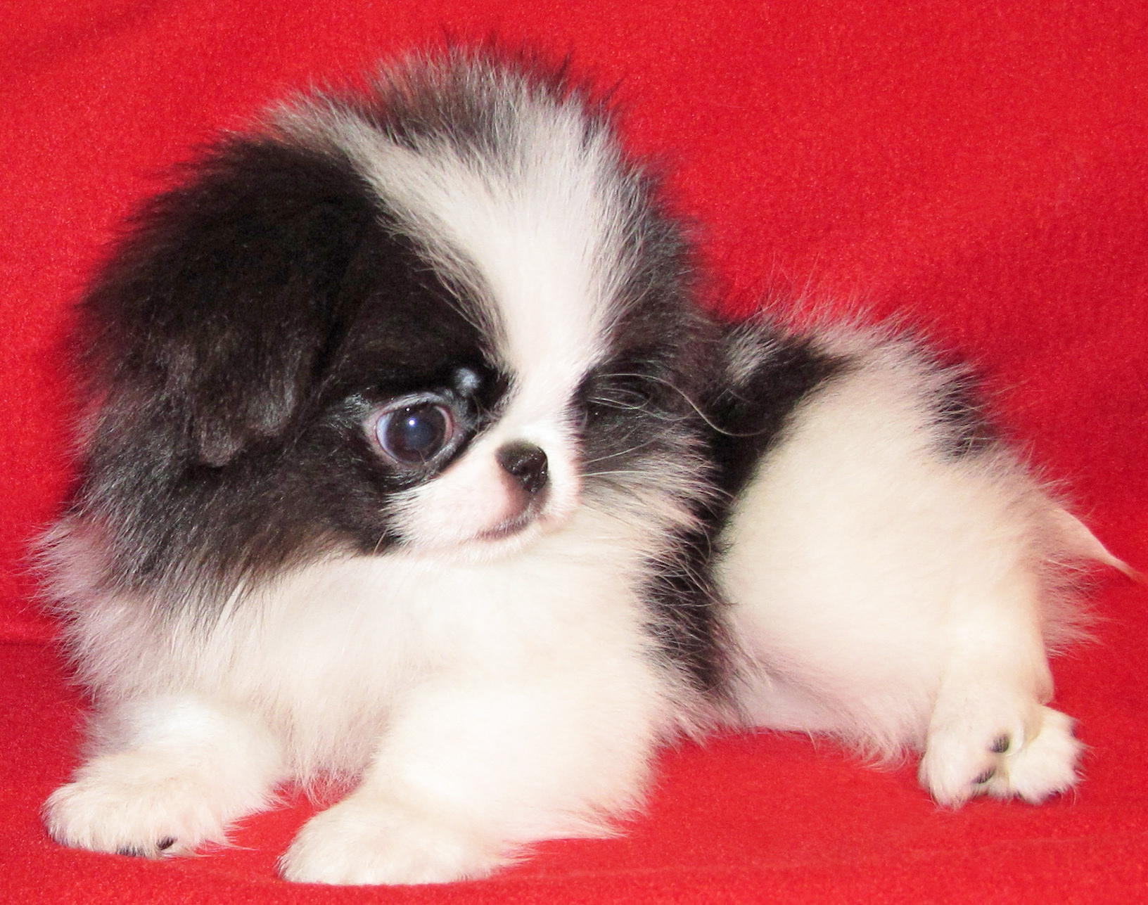 Японский хин щенок