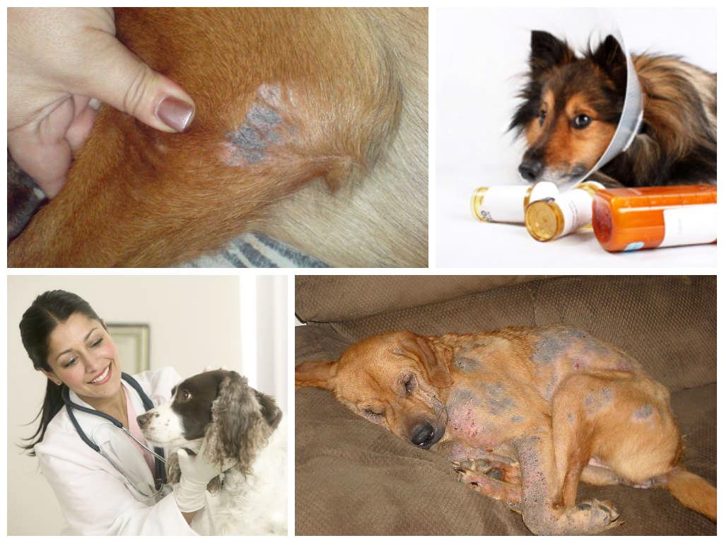 Что делать, если обнаружили демодекоз у собаки - как правильно лечить, чтобы избежать рецидива, профилактика