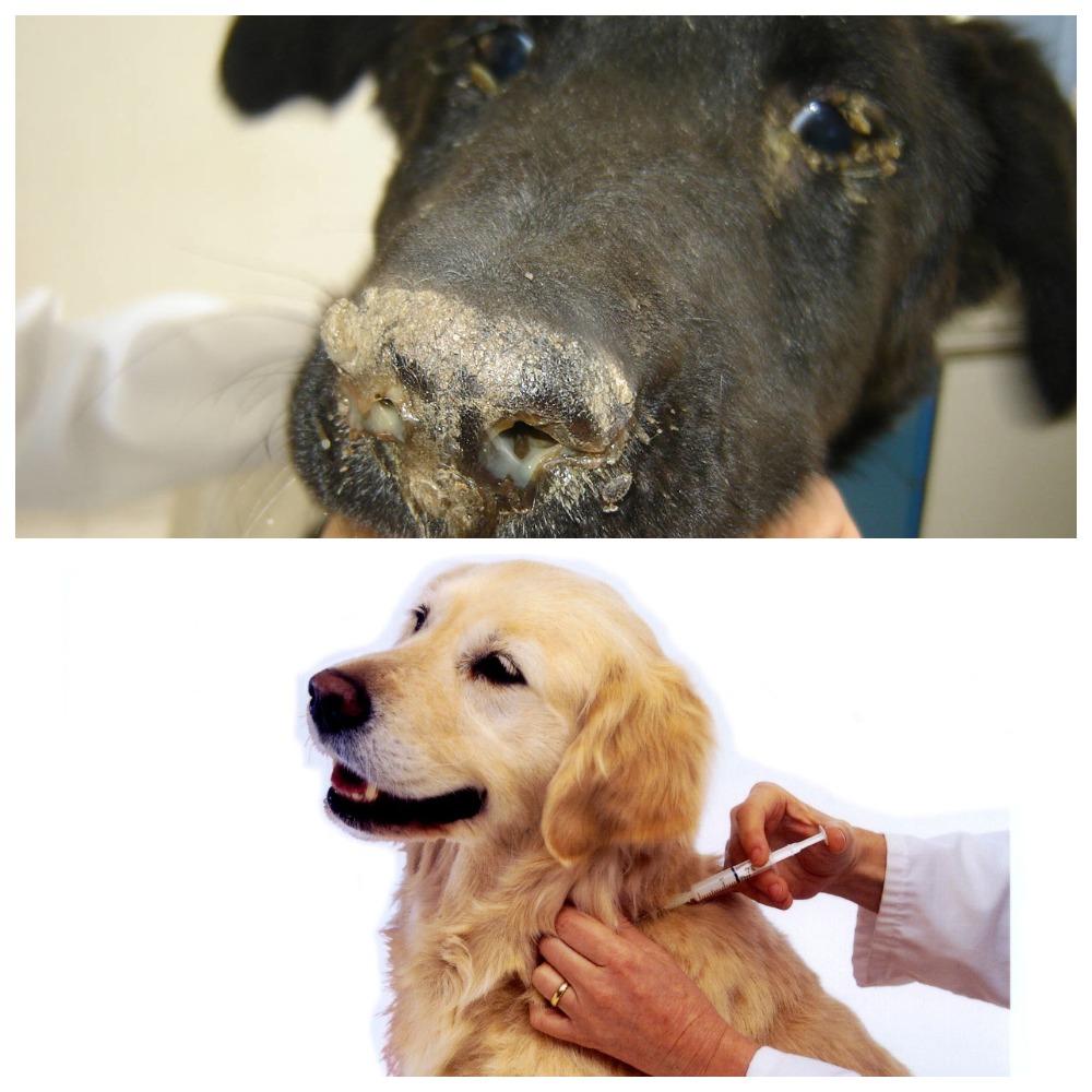 Что делать, если у собаки насморк? Рекомендации, полезные советы и мнение специалистов