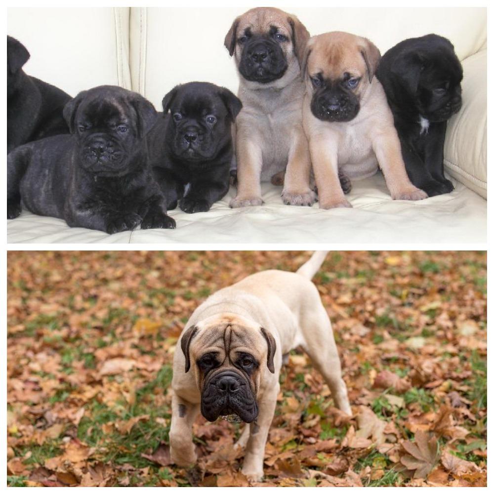 Порода собак бульмастиф - как правильно содержать, ухаживать и выбрать