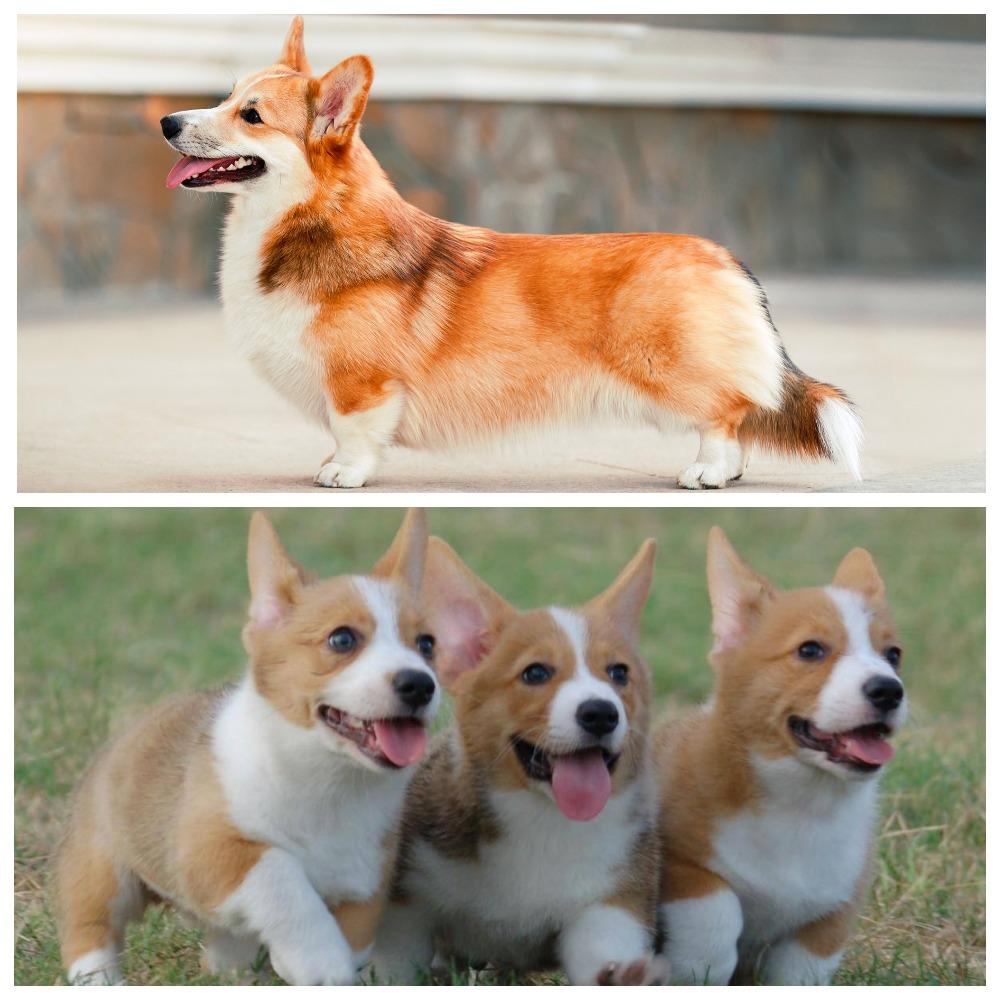 Вельш корги пемброк – удивительные и необычные собаки, которые становятся не только друзьями, но и полноправными членами семьи
