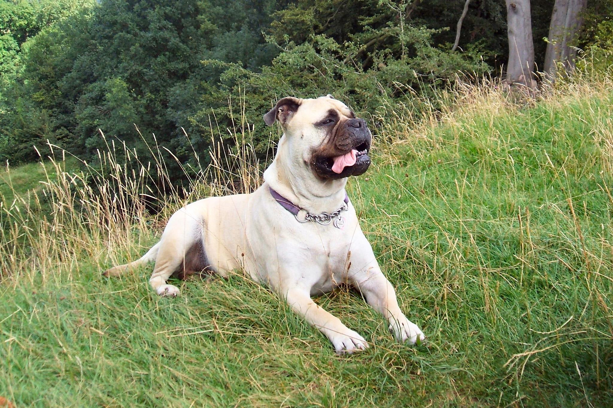 Порода собак бульмастиф