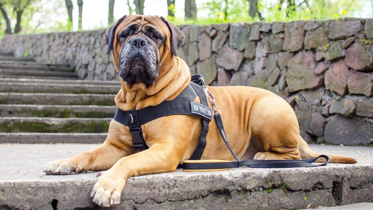 Характер собак породы бульмастиф
