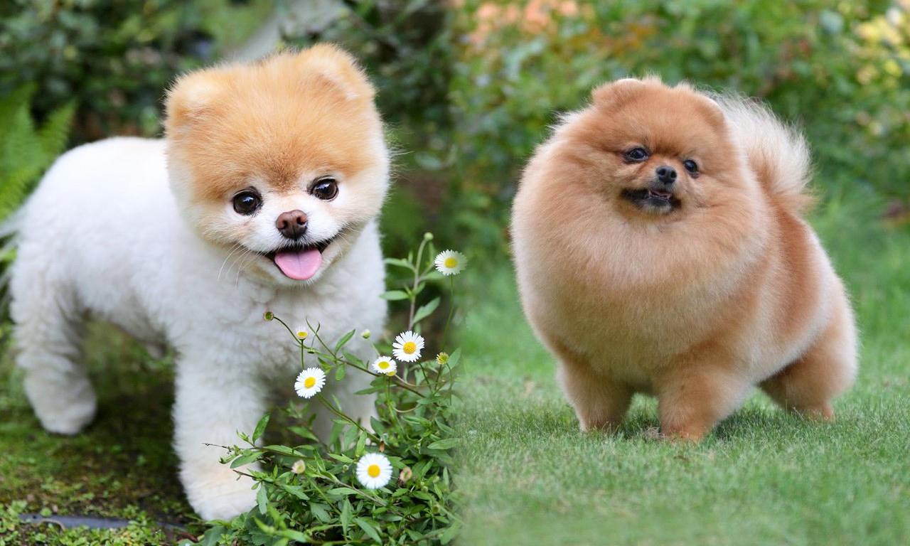 Что из себя представляет померанский шпиц медвежьего типа, как ухаживать за собакой, особенности характера