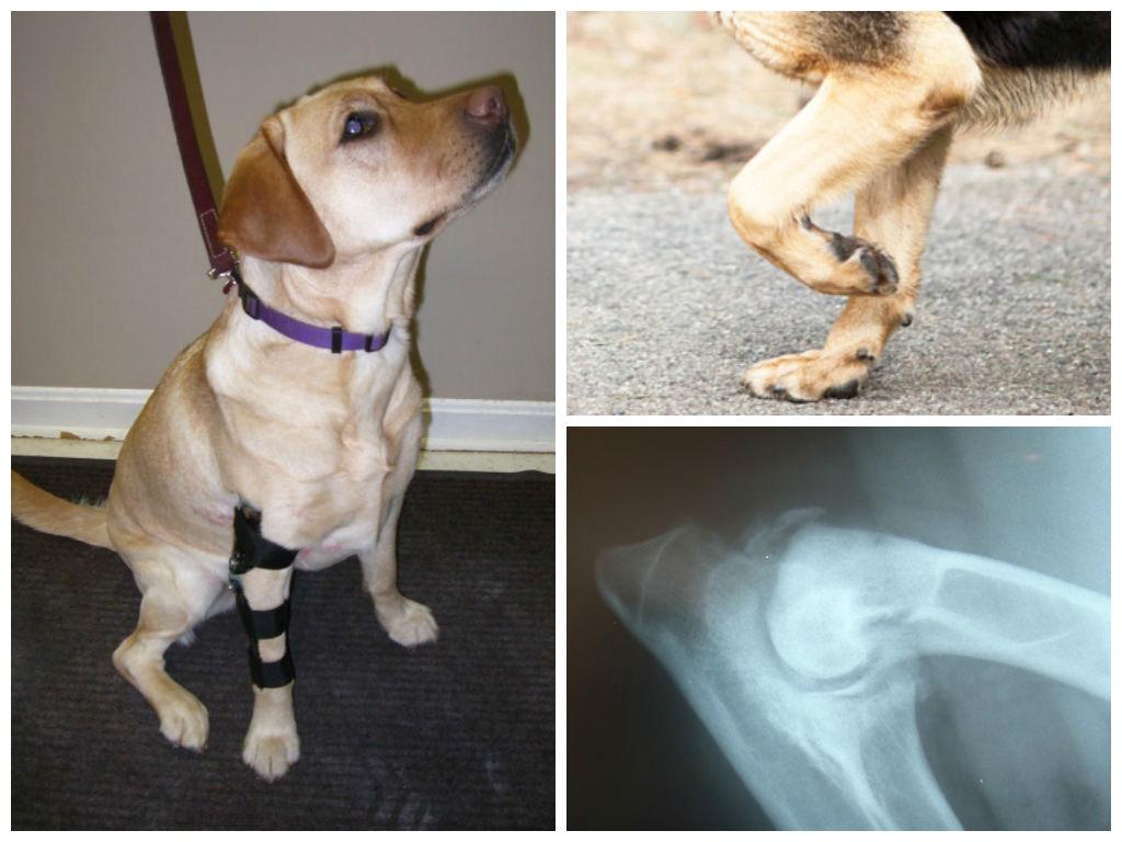 Как проявляется и лечится рахит у собак