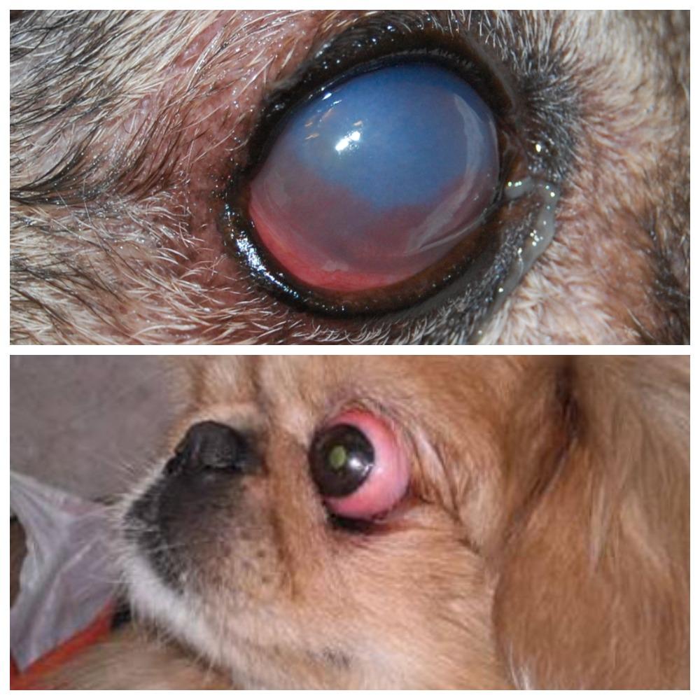 Болезнь глаз у пекинеса