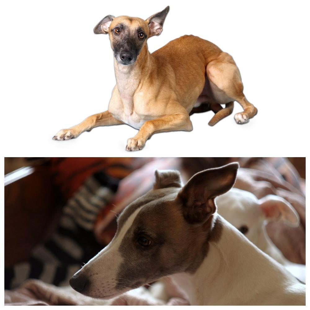 Уиппет собака – уход, воспитание, характеристика