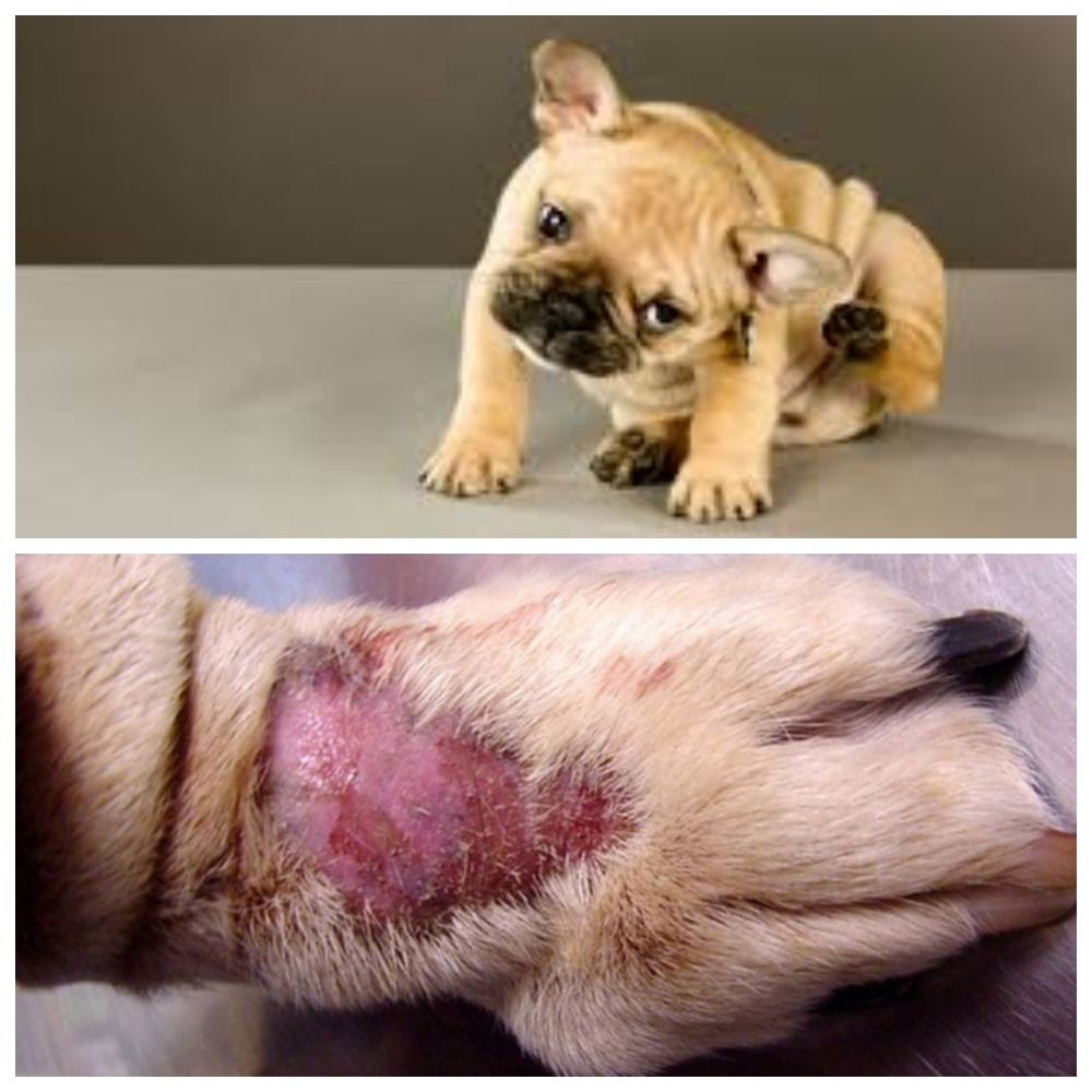 Чем опасен атопический дерматит у собак