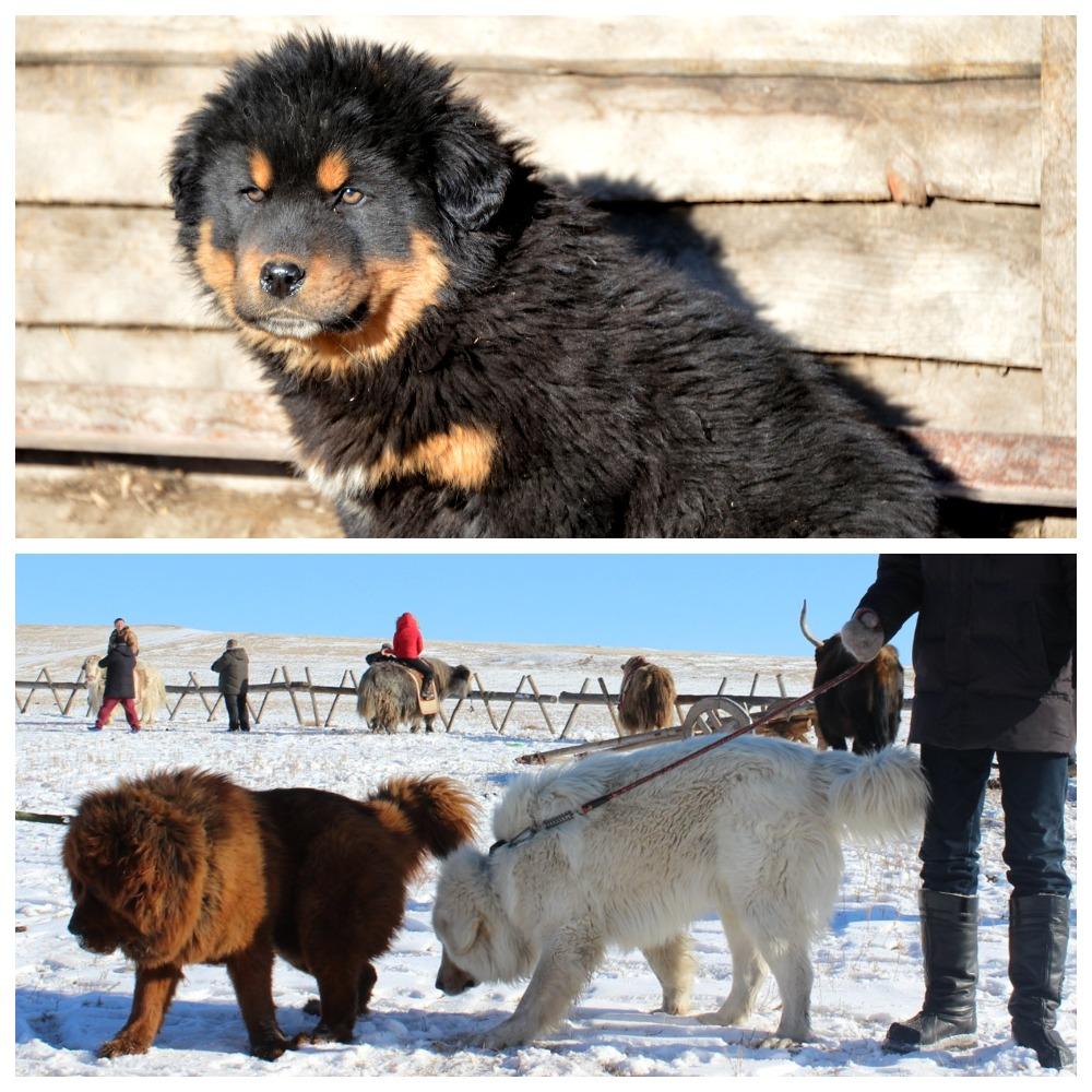 Что представляет собой монгольская овчарка
