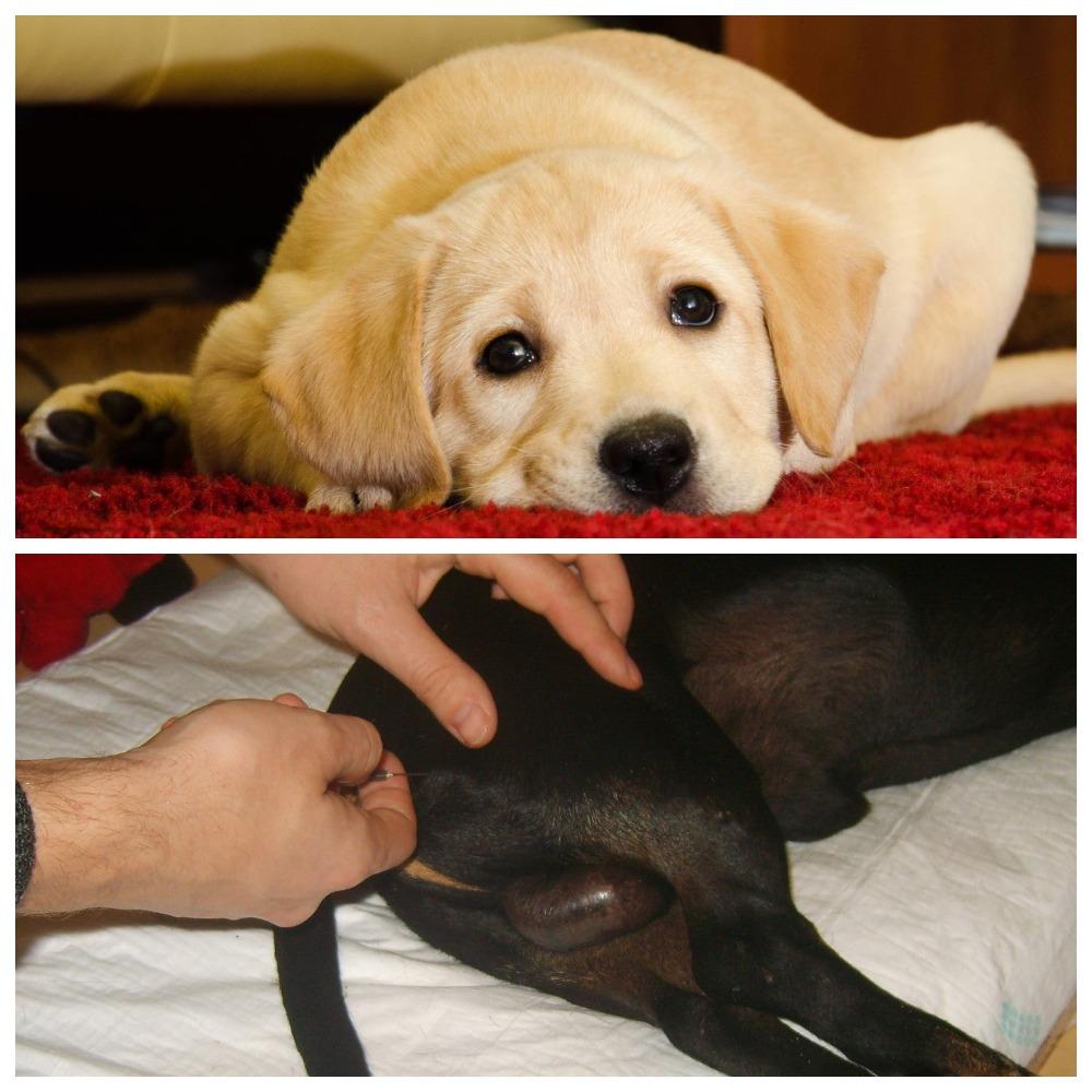 Рассмотрим, как сделать прививку собаке самостоятельно