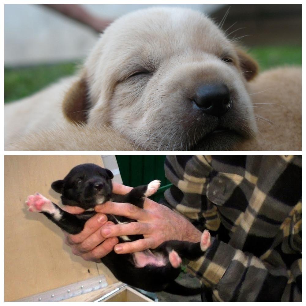 Когда должны открыться глаза у щенков