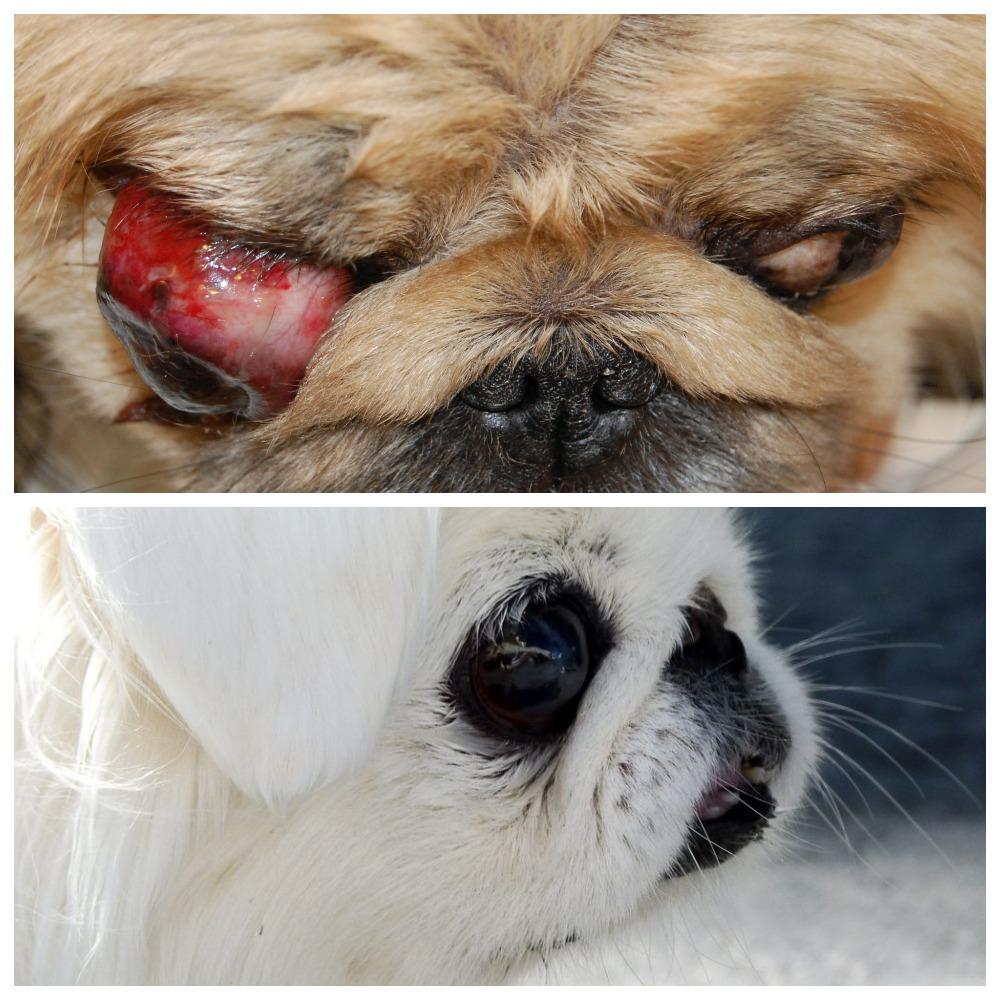 Заболевания глаз у пекинеса - что нужно знать владельцу