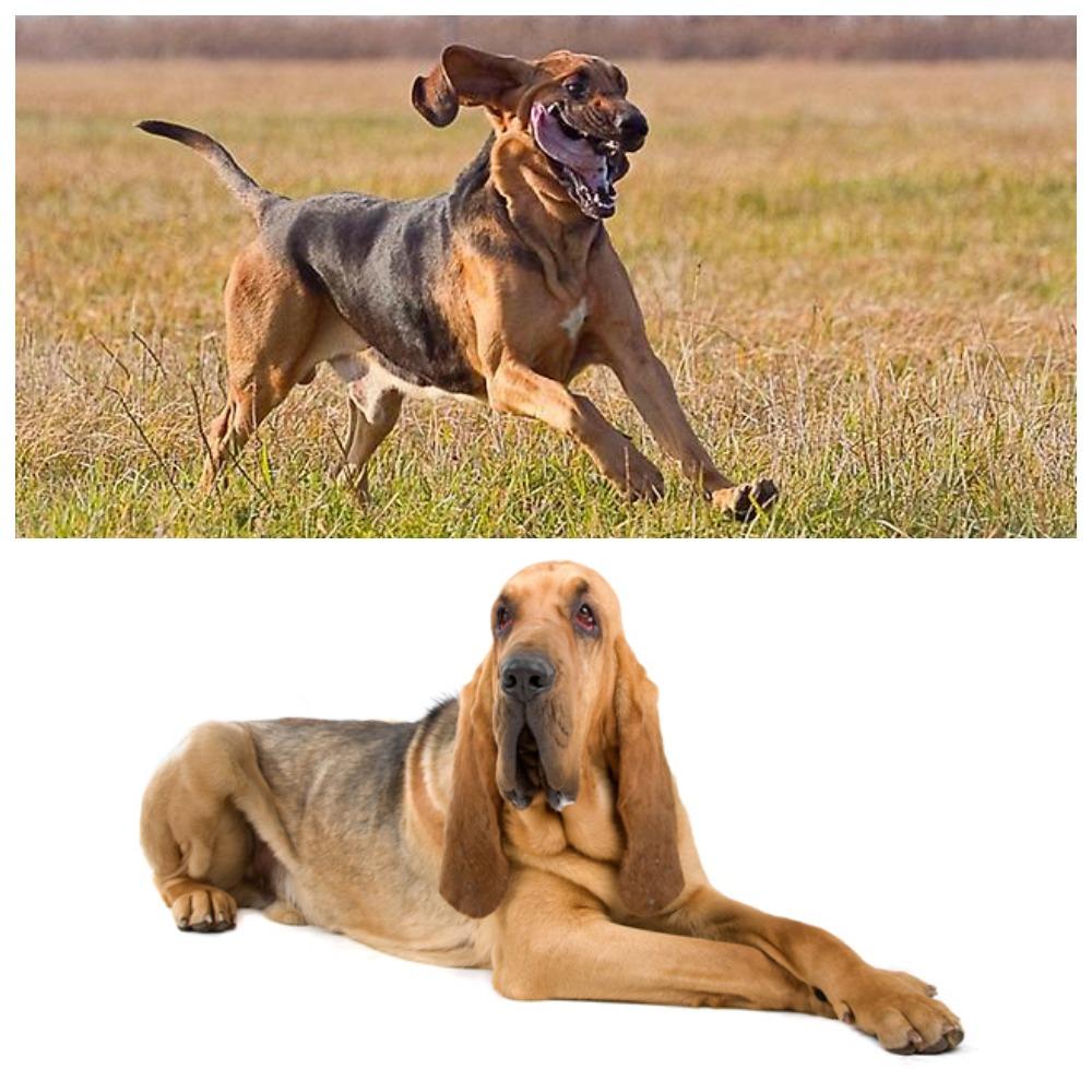 Бладхаунд – благородная и преданная собака