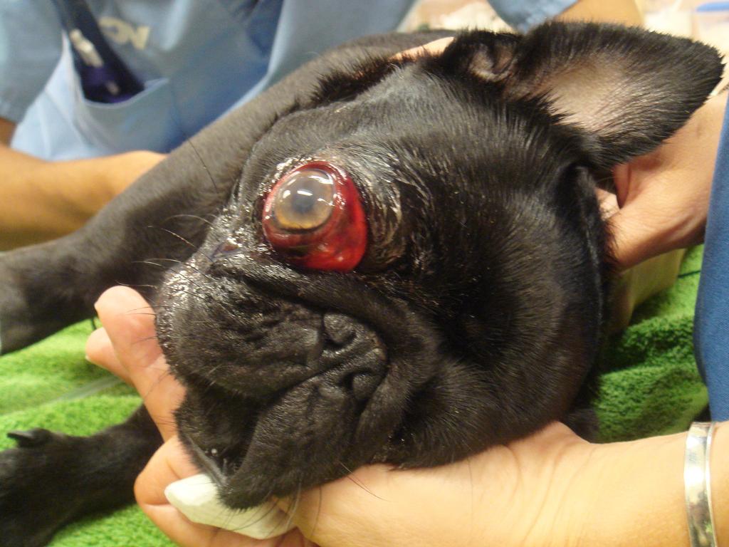 Почему у мопса выпадают глаза