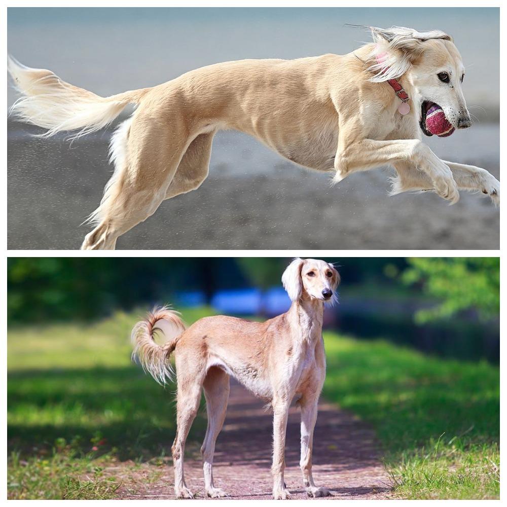Салюки – необычная порода собак