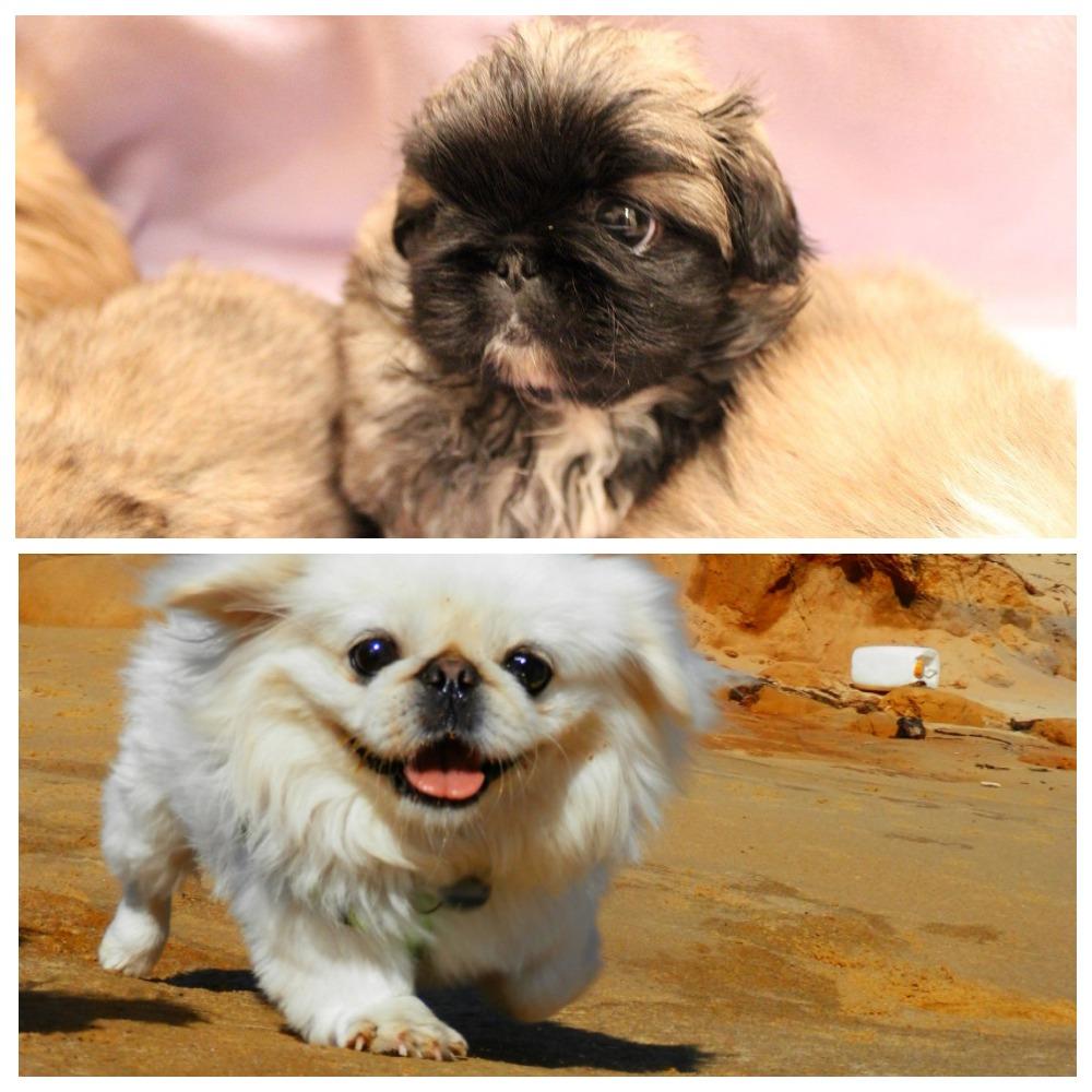 Порода собаки королевский пекинес