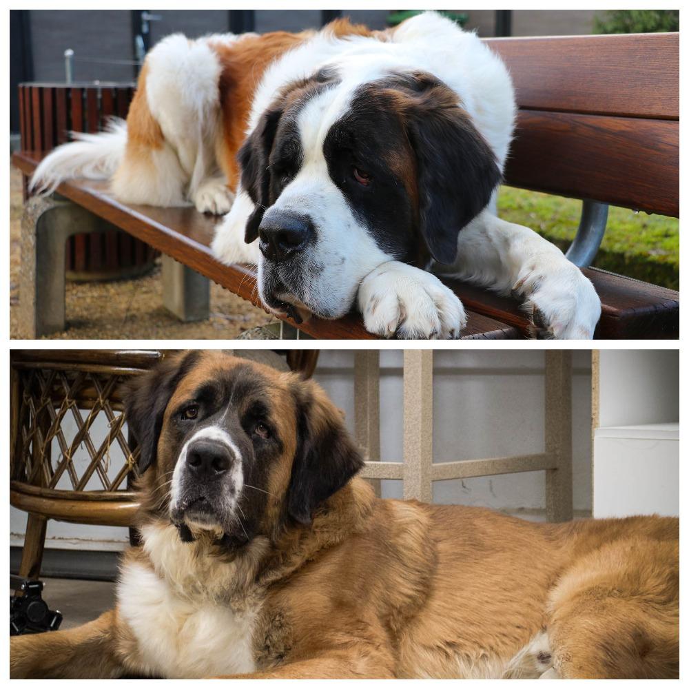Особенности породы московская сторожевая собака