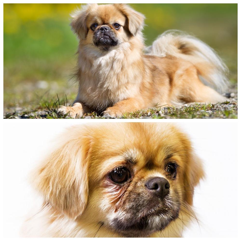 Собака-компаньон - тибетский спаниель