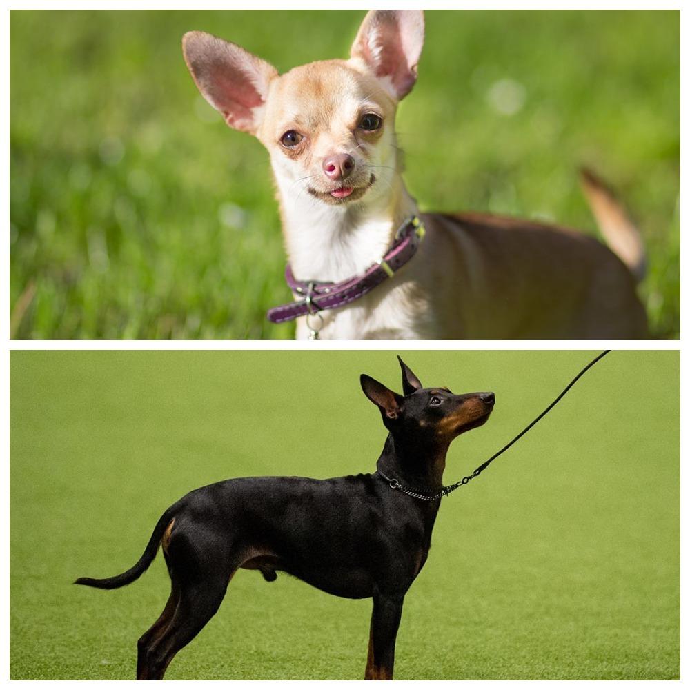 Собачки той-терьер и чихуахуа