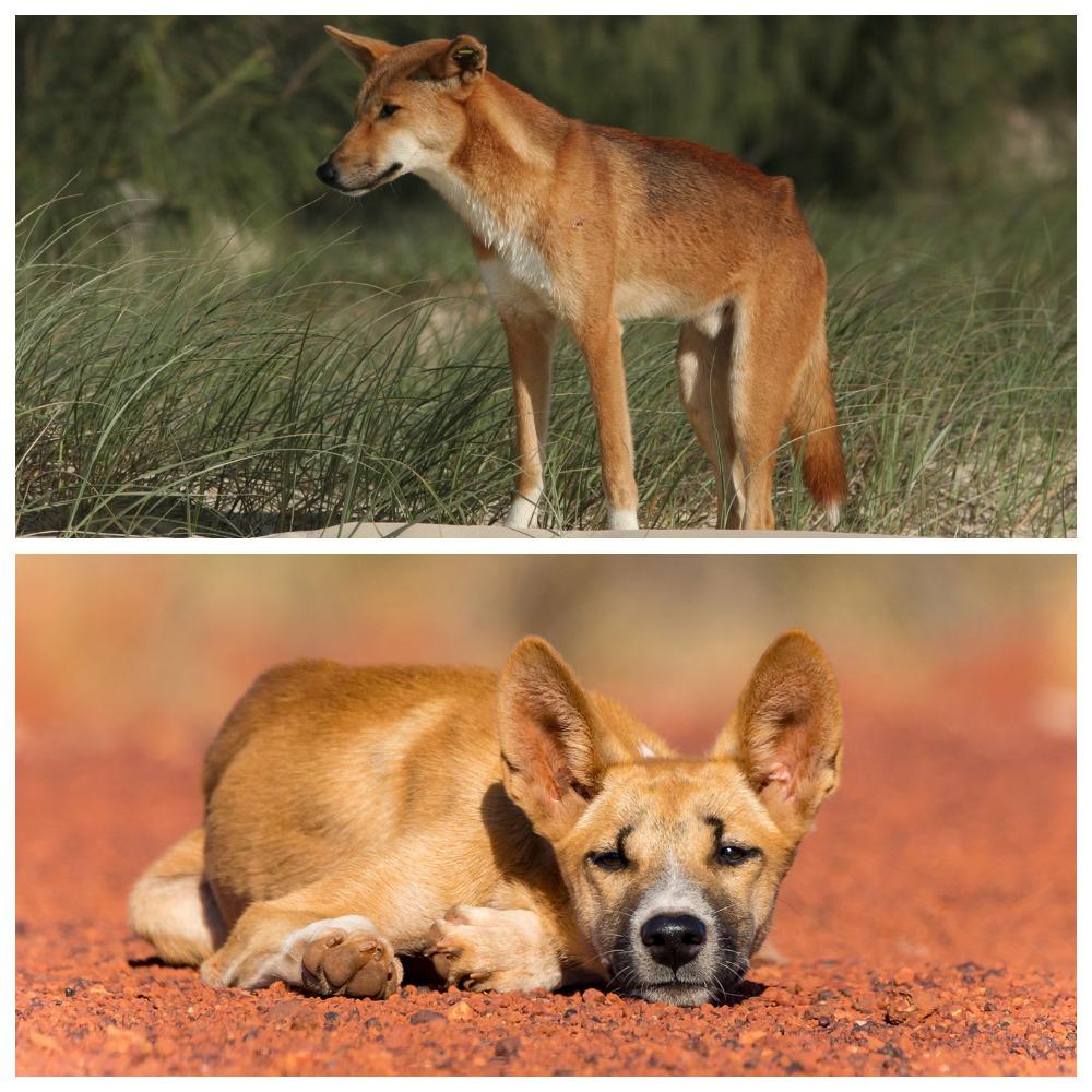 Динго – австралийская дикая собака