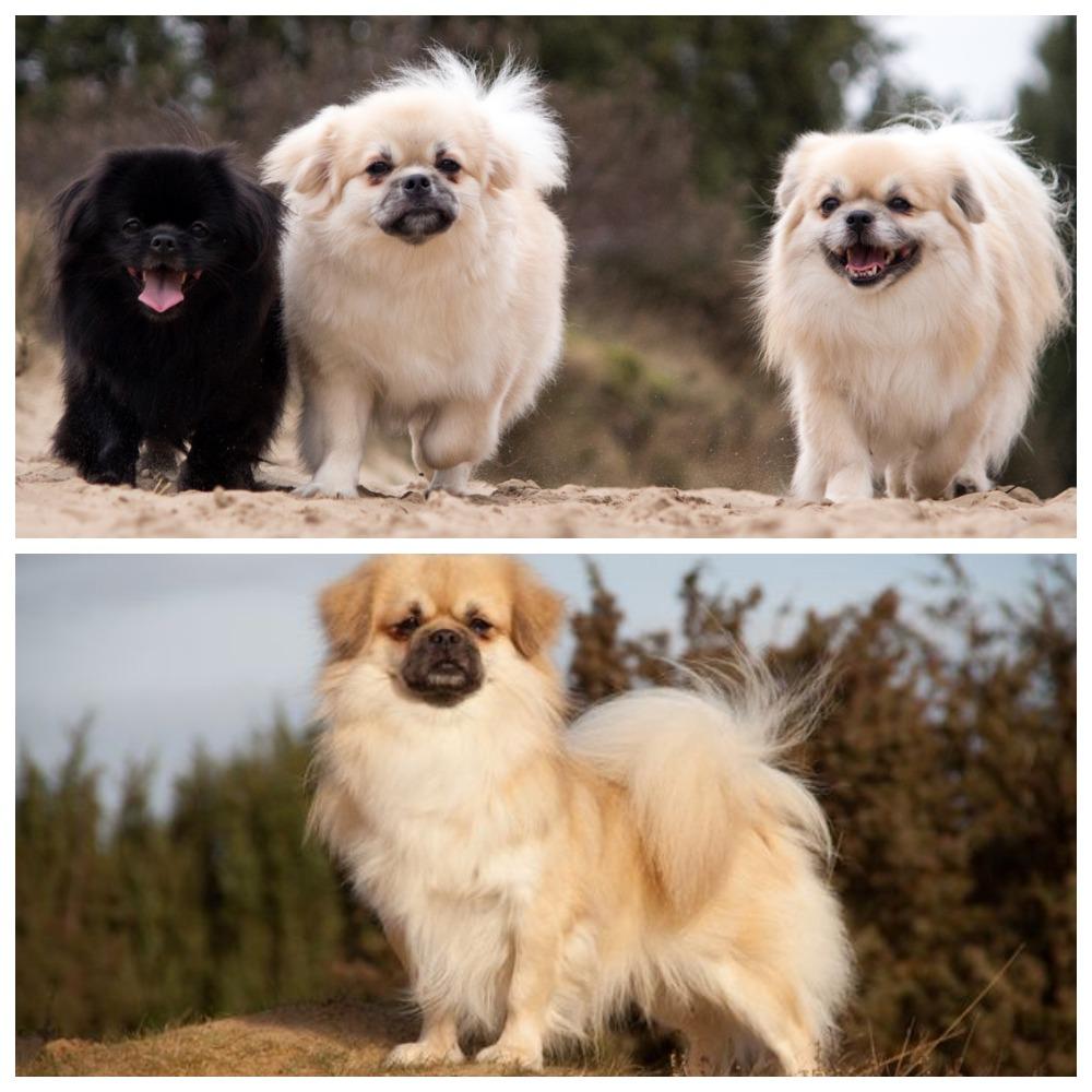 Описание собаки-компаньона тибетского спаниеля