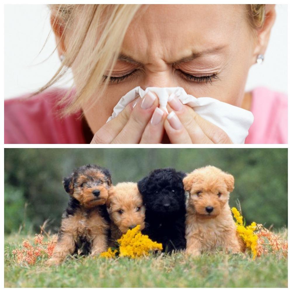 Бывает ли аллергия на йоркширского терьера