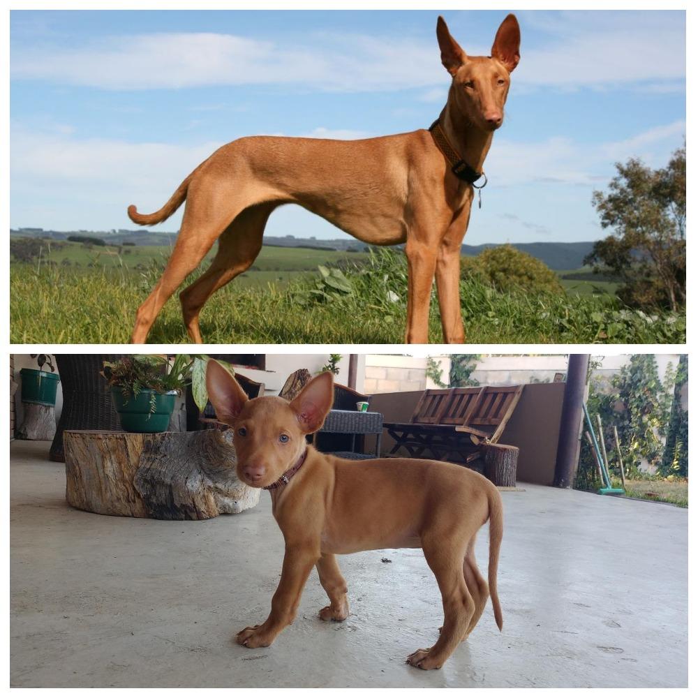 Грациозный охотник - фараонова собака